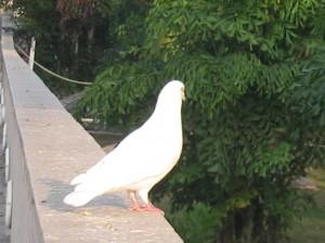 Белый голубь и Крылья свободы